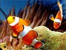 Clownfish.