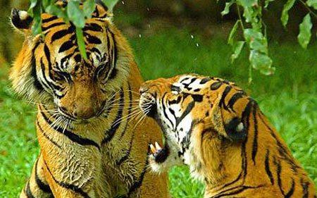 Hai con hổ tại Campuchia. Ảnh: Telegraph.