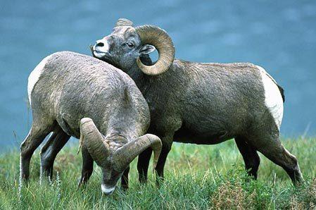 Thể hiện hành vi tình dục đồng giới là cách để cừu núi sừng lớn cái