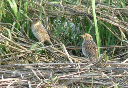 Chim trống và chim mái không kết đôi để làm tổ. Ảnh: 1000birds.com,
