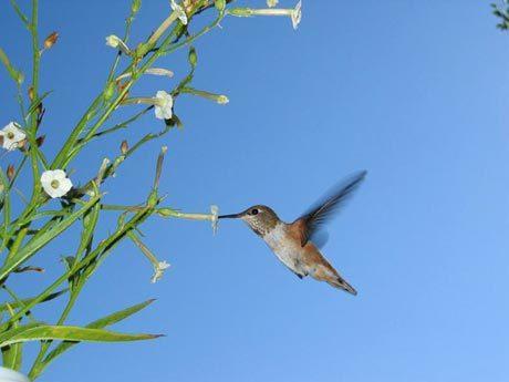 Những cây thuốc lá bị sâu tấn công nở hoa vào ban ngày để thu hút sự chú ý của chim ruồi. Ảnh: