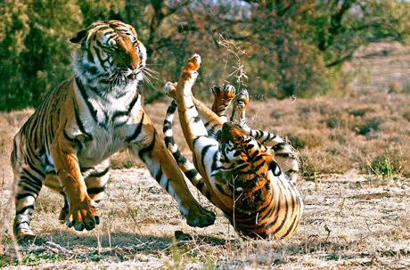 Con người là đối thủ đáng sợ nhất của hổ.