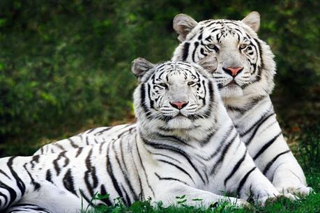 Hổ trắng không phải là những con hổ bị bạch tạng như nhiều người vẫn tưởng. Ảnh: mossprojects.co.nz.