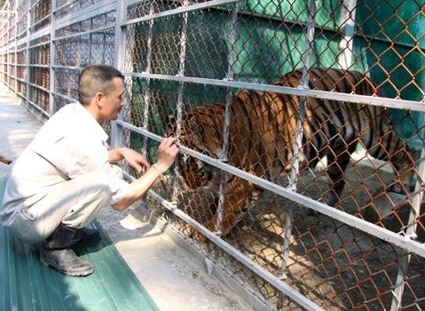 Hổ Nô, con Hổ gần gũi với người nhất trong số 8 con. Ảnh:Q.Thông