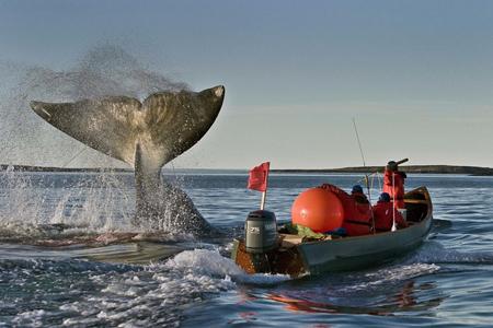 Một con cá voi bị săn đuổi. Ảnh: