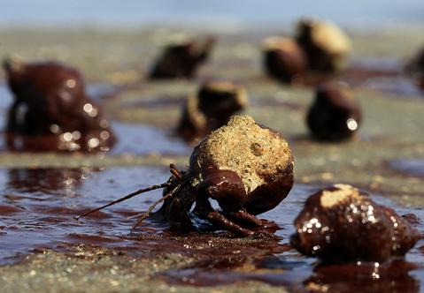 Những con cua Hermit cố gắng vượt qua vệt dầu trên đảo
