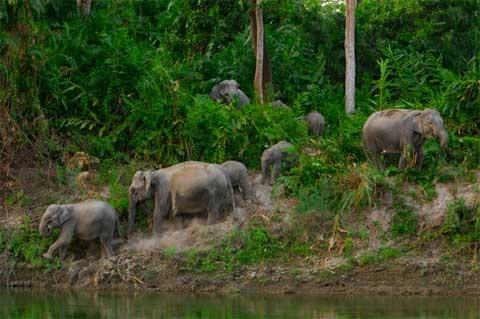 Hơn 1.300 con voi sống trong vườn quốc gia Kaziranga.