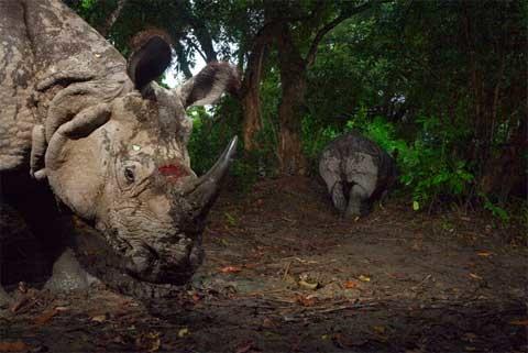 Rất có thể con tê giác này