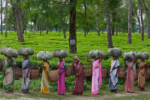 Những người phụ nữ thu hoạch lá chè tại một vườn chè gần