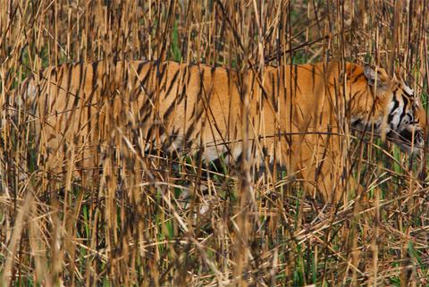 Trong vườn quốc gia này, hổ là những kẻ săn mồi không có đối thủ cạnh tranh.