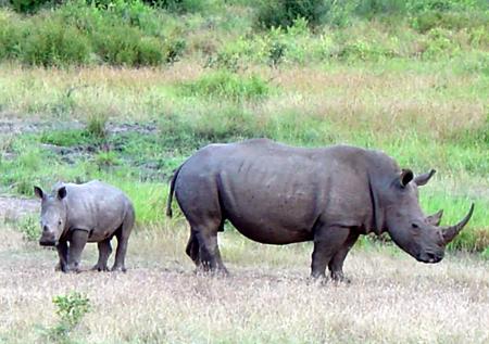 white-rhino-limpopo-289519-1368800473_50