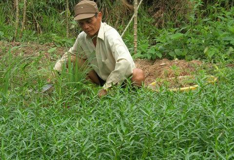 Giờ đây công việc hàng ngày của vị Anh hùng là chăm sóc, bón phân cho vườn rau sau nhà./. Ảnh: Thiên Phước