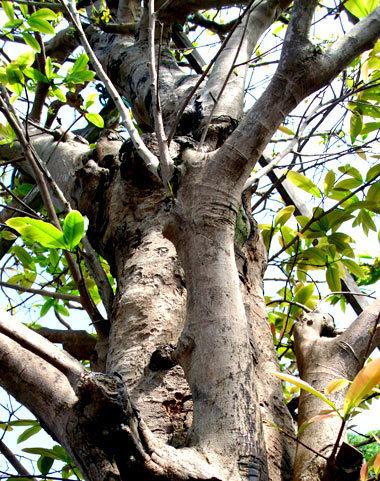Thân cây giá tỷ đồng.