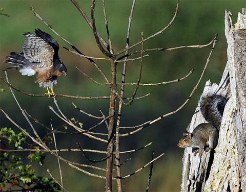 Sóc đối mặt với chim ưng sau khi chim ưng đậu lên một cây mà sóc làm tổ gần làng Bolton Percy, hạt North Yorkshire, Anh. Ảnh:
