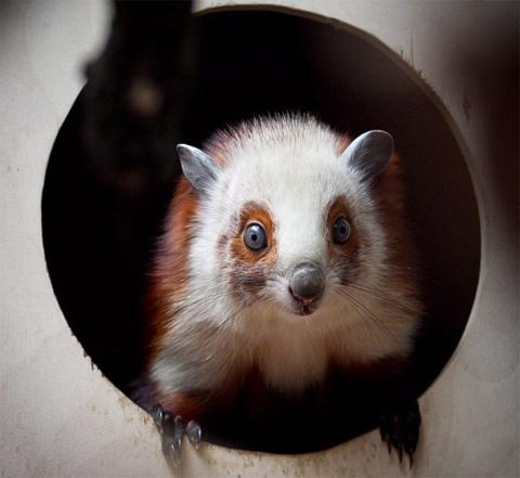 Một con sóc bay có bộ lông đỏ pha trắng