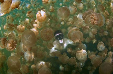 Một thợ lặn bơi giữa hàng trăm con sứa