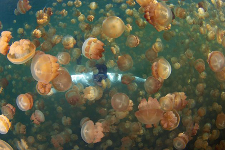 Các chuyên gia ước tính số lượng sứa trong hồ vào khoảng 8 triệu.
