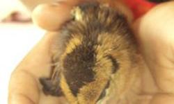 Gà sinh con tại Sri Lanka