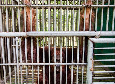 Đười ươi Leuser được nuôi nhốt an toàn trong lồng sắt. Leuser không bao giờ có thể quay lại môi trường sống tự nhiên được nữa - Ảnh: Paul Hilton.