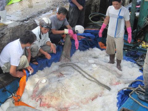 Con cá mặt trăng nặng 400 kg, đây là con lớn nhất từng mắc lưới ngư dân. Ảnh: Bùi Cường