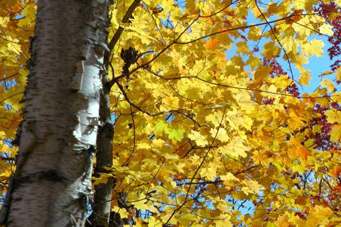 Mùa thu, nhất là khoảng thời gian cuối tháng 9, đầu tháng 10, lá cây phong, bạch dương trong rường chuyển màu tạo nên bức tranh thiên nhiên rực rỡ thu hút rất nhiều du khách đến chiêm ngưỡng