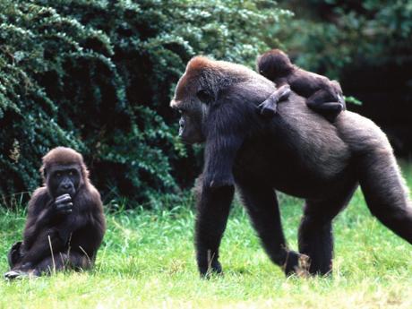Khỉ đột và người từng có tổ tiên chung. Ảnh: bli