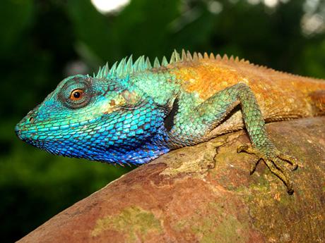 Vào ban ngày, màu sắc trên da của thằn lằn Calotes bachae rất đa dạng - từ
