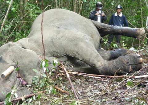 Voi Back-khăm ở Lâm Đồng bị sát hại bên cánh rừng già. Ảnh minh họa: Quốc Dũng.