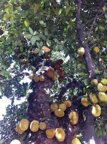 Cây mít chi chít quả ở Quảng Ninh. Ảnh: Tienphong.