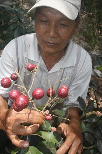 Lão nông Trần Văn Huy ở xã Phong Nẫm, huyện Kế Sách, tỉnh Sóc Trăng sau nhiều năm trồng thử nghiệm cho ra đời quả nhãn màu tím.