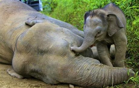 Con voi ba tháng tuổi đứng bên cạnh xác mẹ nó trong khu bảo tồn Ganung Rara