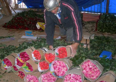 Nhiều người Đà Lạt đã ra vườn hái hoa hồng từ Mùng 1 Tết để thu hoạch phục vụ lễ Valentine. Ảnh: Quớc Dũng