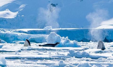 Một số cá voi sát thủ ăn các loài thú biển như hải cẩu