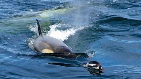 Trong cuộc chiến săn mồi, các con cá voi sát thủ cái lại là những cá thể ở giữa vòng vây và làm nhiệm vụ vất vả hơn những con cá voi đực. Cá voi sát thủ đực có cái vây dài và nhọn hơn cá voi cái.[3]