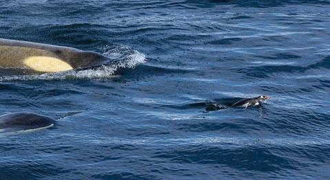 Theo Wikipedia, cá voi sát thủ còn gọi là cá hổ kình, tên khoa học là Orcinus orca, thuộc phân bộ cá voi có răng. Đây là loài cá heo lớn nhất trong họ và là loài cá voi ăn thịt hung dữ nhất đại dương.