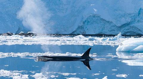 Cá voi sát thủ sống tất cả các đại dương trên thế giới, từ Bắc Băng Dương và vùng châu Nam Cực cho đến vùng biển nhiệt đới ấm áp.
