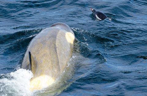 rca có màu đen ở phía trên thân mình, màu trắng ở ngực, bụng, 2 bên hông, phía trên sau mắt. Lúc nhỏ những phần trắng có màu vàng hay vàng cam, khi trưởng thành mới dần trở thành màu trắng. Con đực (Orca Nam cực) dài khoảng 6–8 m, có thể nặng hơn 6 tấn. Con cái (Orca Nam cực) nhỏ hơn với chiều dài 5–7 m, nặng 4-5 tấn