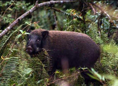 Một con lợn rừng
