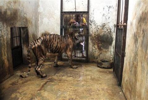 Hổ Melani bị mắc bệnh đường tiêu hóa trong 5 năm đang được cho ăn. Ảnh: AP