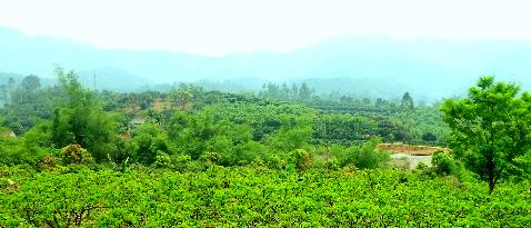 Màu xanh bát ngát trải khắp các vườn đồi