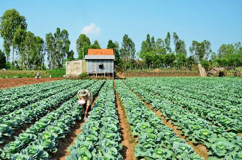 Người nông dân đang bón phân cho vườn bắp cải