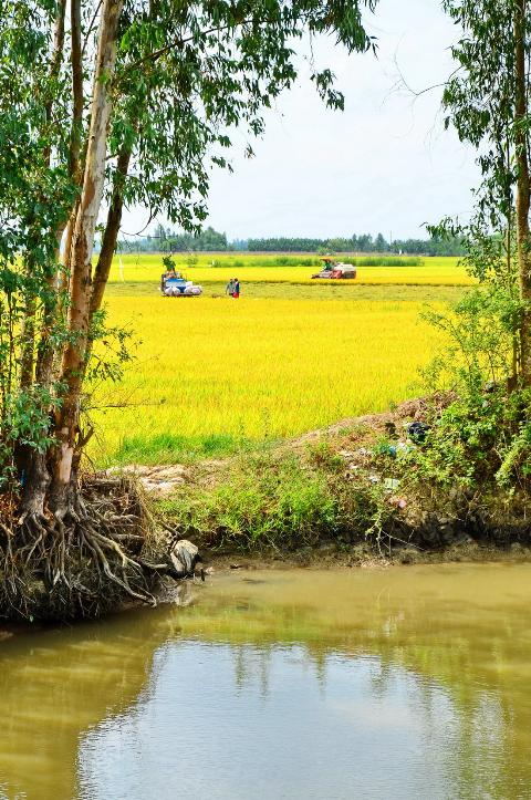 Người dân thu hoạch lúa trên cánh đồng bằng máy gặt đập liên hợp