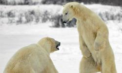 Nghề tìm gấu trắng tại Na Uy