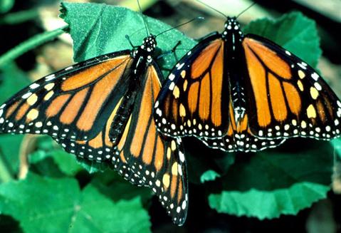 Cánh của bướm cái