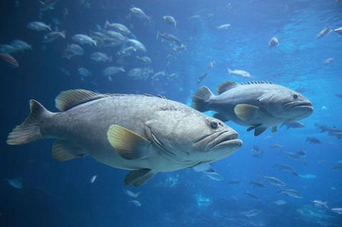 Các loài dưới biển phối hợp với nhau để săn mồi. Ảnh: ISTOCKPHOTO