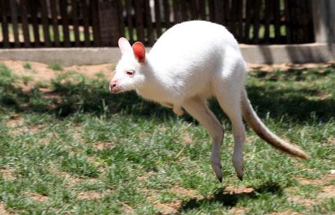 Những con kangaroo đang ở công viên Xixiakou, thành phố Uy Hải, tỉnh Sơn Đông.