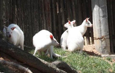 Kangaroo còn gọi là chuột túi. Đây là loài biểu tượng của Australia. Kangaroo chủ yếu hoạt động vào ban đêm. Vào những tháng mát trời, chúng có thể kiếm ăn cả ngày. Thức ăn của chúng chủ yếu là nấm, các loài cây, sâu bọ.