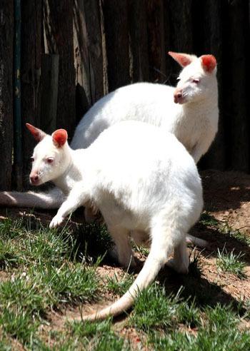 Kangaroo thuộc nhóm động vật mà con của chúng được sinh ra trước khi phát triển đầy đủ, sau đó được mang trong túi. Thông thường, chúng sinh ra mỗi lứa một con