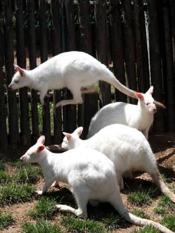 ất cả các loài kangaroo đều có chân sau khoẻ, bàn chân dài và hẹp. Chúng ngồi trên những đôi chân này và đuôi xù to vững chắc. Nếu kiếm ăn hoặc di chuyển ở tốc độ chậm, chúng dùng tất cả 4 chân, còn khi đi nhanh thì chúng di chuyển bằng cách nhảy vọt. Đuôi của chúng giúp cơ thể giữ thăng bằng khi nhảy. Khi có giao tranh giữa 2 con đực, chúng có thể đứng trên đuôi và dùng hai chi sau để tự vệ.