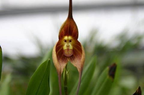 Nó không có mùa nào ra hoa cụ thể cả, trong môi trường sống tự nhiên có khi nó có thể nở hoa bất cứ lúc nào. Khuôn mặt của bông hoa chưa hẳn là kinh ngạc mà nó còn có mùi cam chín nữa đấy. Keralites Blog